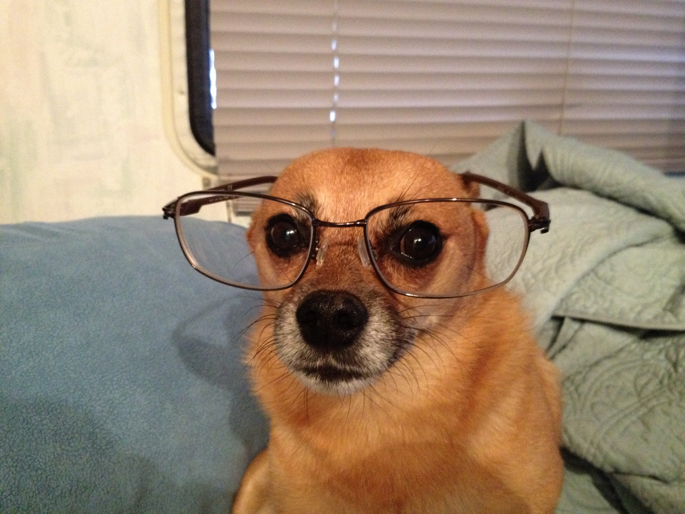 dog with glasses - HD2308×1731