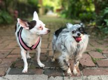 Roo (left) & Melford (right), Chihuahuas