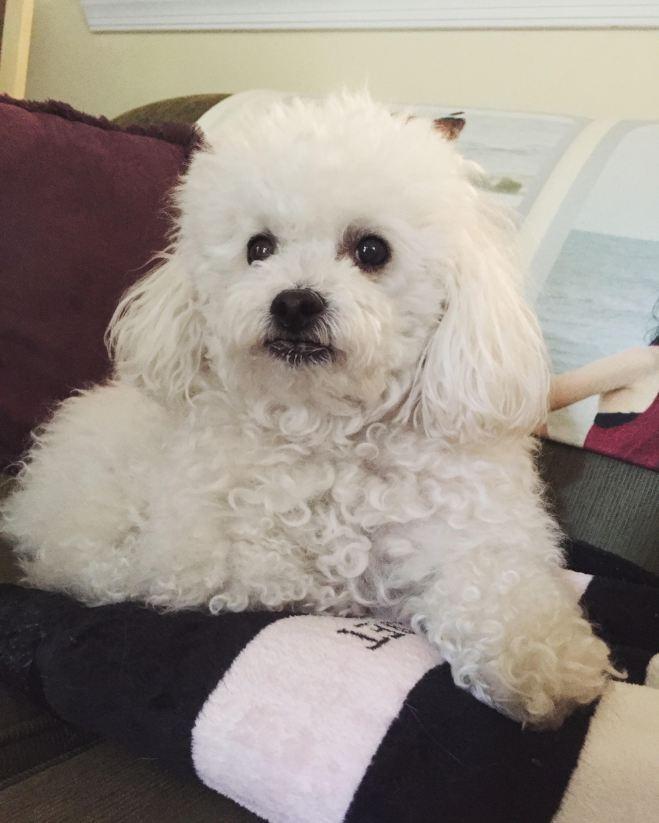 Savannah, Toy Poodle