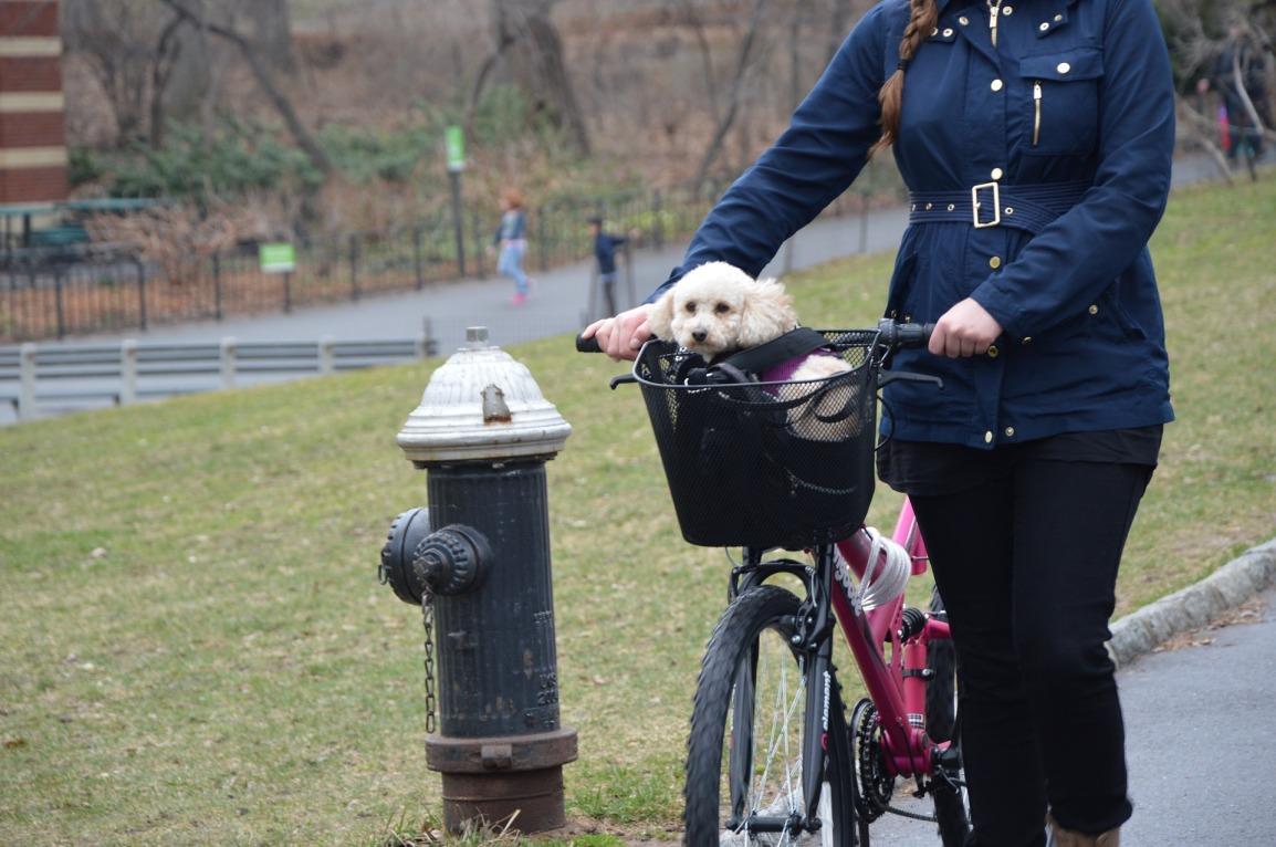 Poodle riding in bike basket