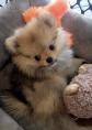 Oliver, Pomeranian