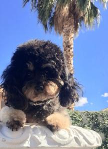 Layla, Toy Poodle